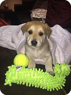 Labrador Retriever Mix Puppy for adoption in Stamford, Connecticut - SUGAR