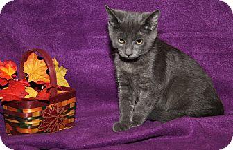 Domestic Shorthair Cat for adoption in Marietta, Ohio - Mark (Neutered)