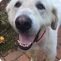Adopt A Pet :: Cotton - Bristol, TN