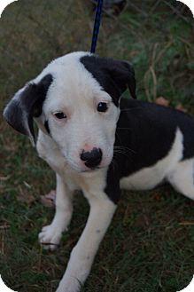 Boxer/Australian Shepherd Mix Puppy for adoption in Newark, Delaware - Blinken