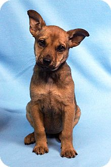 Shepherd (Unknown Type) Mix Puppy for adoption in Westminster, Colorado - SALLY