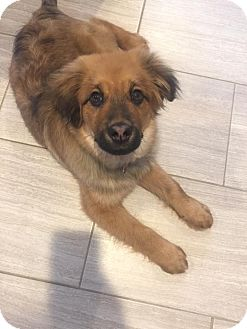 German Shepherd Dog Mix Puppy for adoption in Salamanca, New York - Cody - (Adoption Pending)