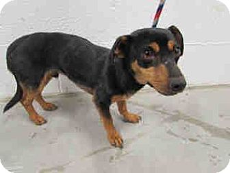 Dachshund/Miniature Pinscher Mix Dog for adoption in Corona, California - Blake, Choked Hanging out car