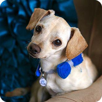 Dachshund/Chihuahua Mix Dog for adoption in Phoenix, Arizona - Iggy