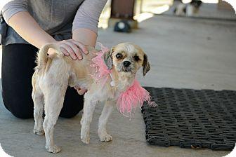 Shih Tzu Mix Dog for adoption in Muldrow, Oklahoma - Amber