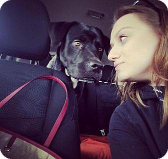 Labrador Retriever/Mastiff Mix Dog for adoption in Brooklyn, New York - Duke