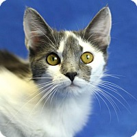 Adopt A Pet :: Prissy - Winston-Salem, NC