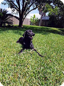 Labrador Retriever Mix Dog for adoption in Austin, Texas - Jericho Barrons