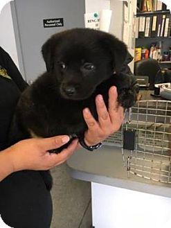Collie Mix Puppy for adoption in Janesville, Wisconsin - Piggy