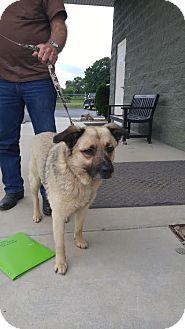 German Shepherd Dog/Labrador Retriever Mix Dog for adoption in Ardmore, Pennsylvania - Axel
