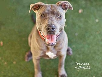 Staffordshire Bull Terrier Dog for adoption in Los Angeles, California - TRAVIESA