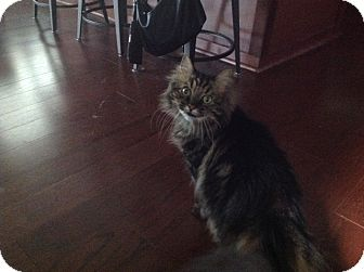 Domestic Longhair Cat for adoption in Rock Hill, South Carolina - Merlin
