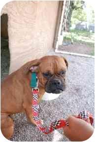 Boxer Dog for adoption in Mt Vernon, Missouri - Max