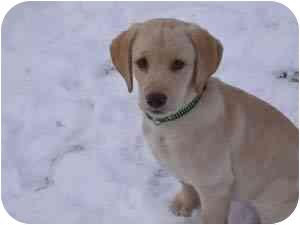 Labrador Retriever Mix Puppy for adoption in Provo, Utah - Darcy