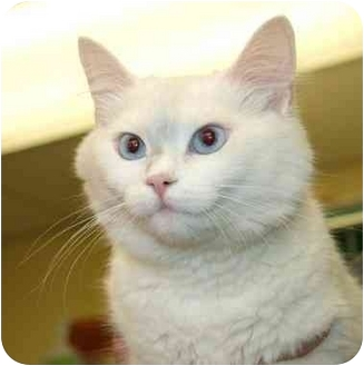 Domestic Shorthair Cat for adoption in Phoenix, Oregon - Blue