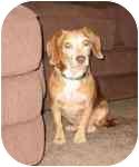 Beagle Mix Dog for adoption in Phoenix, Arizona - CJ