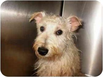 Westie, West Highland White Terrier Dog for adoption in North Benton, Ohio - Samson