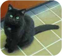 Domestic Shorthair Cat for adoption in Honesdale, Pennsylvania - Asa