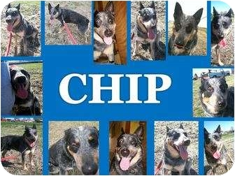 Australian Cattle Dog/Australian Cattle Dog Mix Dog for adoption in Shenandoah, Iowa - Chip