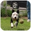 Photo 1 - American Pit Bull Terrier Mix Puppy for adoption in Barron, Wisconsin - Chester