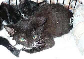 Domestic Shorthair Kitten for adoption in Colmar, Pennsylvania - Al