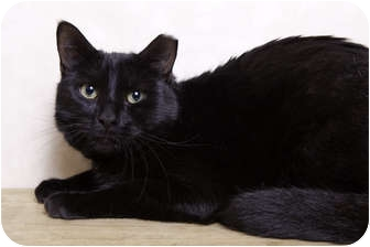 Domestic Shorthair Cat for adoption in Randolph, New Jersey - Ricky- super sweet and friendl