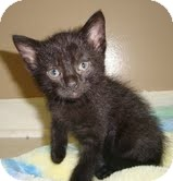 Domestic Shorthair Kitten for adoption in Portland, Maine - Twinky