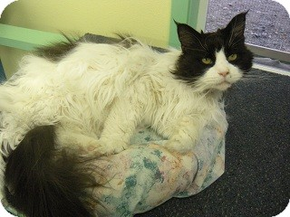 Maine Coon Cat for adoption in Fort Benton, Montana - Connie