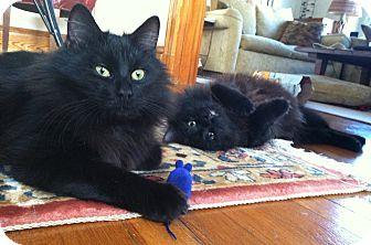 Domestic Longhair Kitten for adoption in Medford, Massachusetts - Velvetina