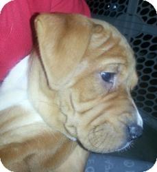 Boxer/Mastiff Mix Puppy for adoption in Marlton, New Jersey - Baby Selena