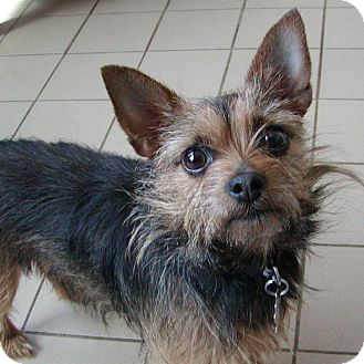 Chihuahua/Yorkie, Yorkshire Terrier Mix Dog for adoption in Jackson, Michigan - Bella