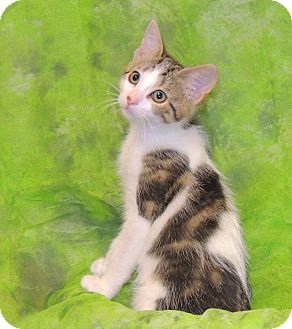 Domestic Shorthair Cat for adoption in Elmwood Park, New Jersey - Bella