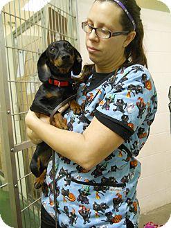 Dachshund Dog for adoption in Paris, Illinois - Skip