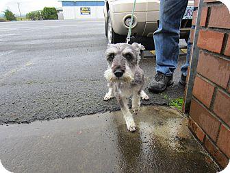 Schnauzer (Miniature) Dog for adoption in Tillamook, Oregon - Stevie