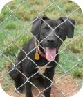 Great Dane/Labrador Retriever Mix Puppy for adoption in Seneca, South Carolina - Dasher $125