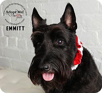 Scottie, Scottish Terrier Dog for adoption in Omaha, Nebraska - Emmitt-Pending Adoption