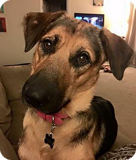 German Shepherd Dog Mix Dog for adoption in Lexington, Kentucky - Journey
