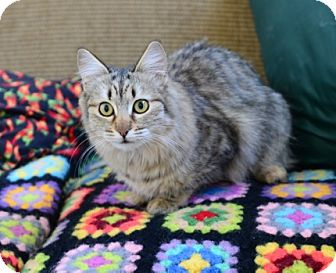 Domestic Mediumhair Cat for adoption in Gardnerville, Nevada - Priscilla