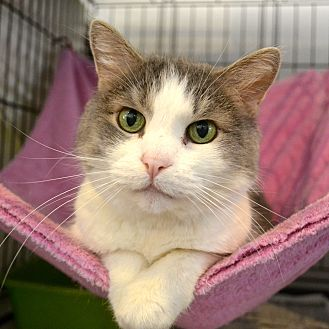 Domestic Shorthair Cat for adoption in Los Angeles, California - Ashes