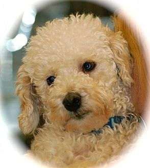 Bichon Frise/Poodle (Miniature) Mix Dog for adoption in Phoenix, Arizona - Einstein