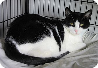 Domestic Shorthair Cat for adoption in Glenwood, Minnesota - Hope