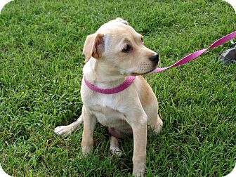 Terrier (Unknown Type, Small) Mix Puppy for adoption in Salem, New Hampshire - PUPPY OAKLEY