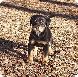 Terrier (Unknown Type, Medium)/Beagle Mix Puppy for adoption in Marietta, Georgia - Eiffel