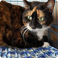 Adopt A Pet :: Socks - West Lafayette, IN