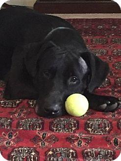 Labrador Retriever Mix Dog for adoption in Austin, Texas - Bob