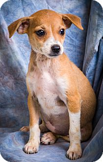 Jack Russell Terrier/Chihuahua Mix Puppy for adoption in Anna, Illinois - JADE
