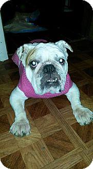 English Bulldog Dog for adoption in Decatur, Illinois - Aria