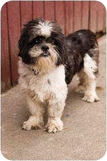 Shih Tzu Mix Dog for adoption in Portland, Oregon - Pickles