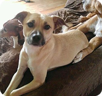 Whippet Mix Dog for adoption in Oakdale, California - Sadie