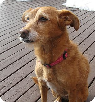 Terrier (Unknown Type, Small)/Poodle (Miniature) Mix Dog for adoption in Rigaud, Quebec - Beya